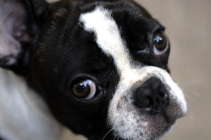 Dog walking clients' dog Bruno