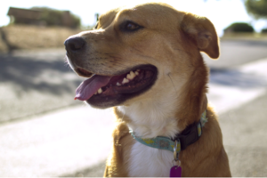 Philadelphia Dog License: Online, by Mail or In Person