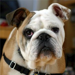Exercise needs for Brachycephalic dogs