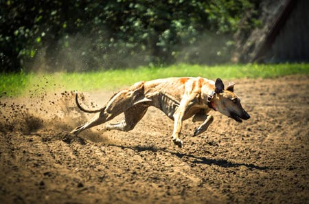 Exercise needs for sighthounds