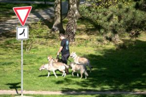 Read more about the article 14 Dog Walking Skills: Become or Hire a Dog Walker