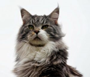 Maine Coon: number 7 on my most expensive cat list