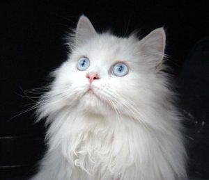 One of the most expensive cats: Persian cat