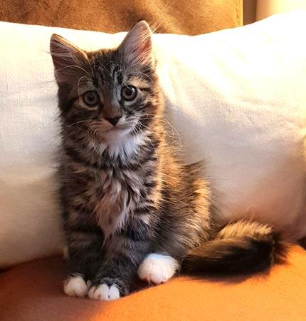 Siberian cat (kitten)