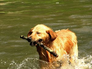 Golden Retriever: 2nd best rated dog breed good with cats