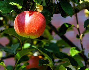 The stems, leaves and seeds from Apple trees are poisonous to dogs