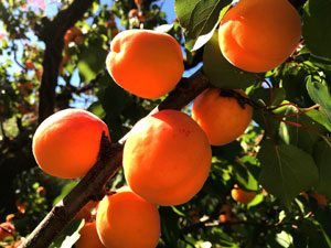 Apricot trees: the pits of the fruit are highly poisonous to dogs