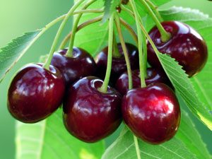 Twigs and leaves ot the Wild Cherry tree are poisonous to dogs and can result in death