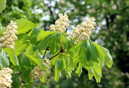 The nuts of the Horse Chestnut tree are poisonous to dogs and people