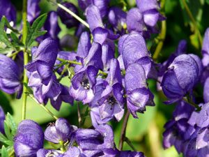 Monkshood plant