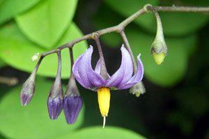 Nightshade plant