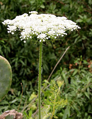 Poison hemlock plant, ome of the most toxic plants to dogs