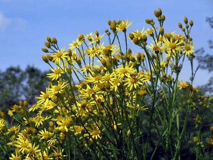 Plants toxic to dogs: Ragwort