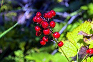 Baneberry plant