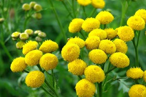 Common Tansy is toxic to dogs