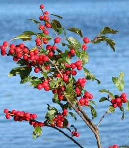 Winterberry tree