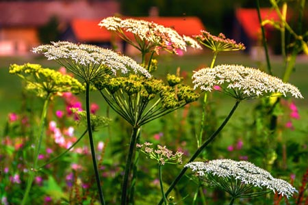 Though highly medicinal, Yarrow is poisonous to dogs