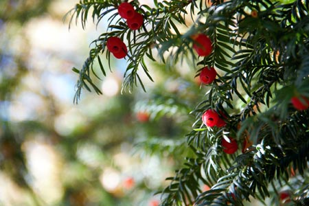 The berries of Yew trees are very poisonous to dogs