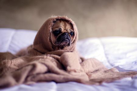 Funny dog in blanket