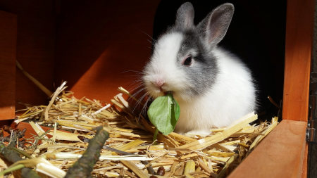 Hay for food and litter for pet rabbits